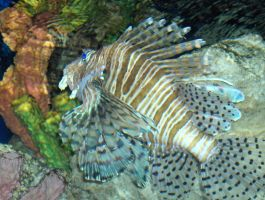 Lion Fish by iBaNaNa55
