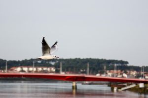 Seagull above the red bridge by Tom-Mosack