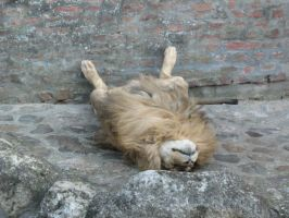 IT'S NOT A DEAD LION XD by Zanten