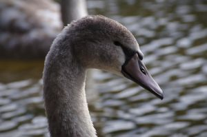 Juvenile Swan, head close up 2 by FurLined