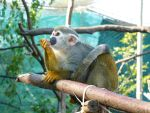 Squirrel Monkey - IPR by IATSATH