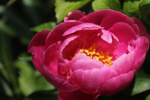 A Sunbathing Peony by Seqbre