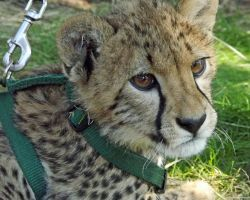 Another Cheetah picture by k-waldo