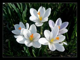 Crocus by Dominicca