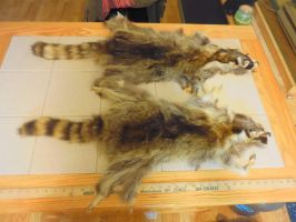 Raccoon Pelts (For Sale) by Saceronsage