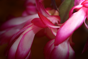 Christmas Cactus... by Lonewolf-Eyes