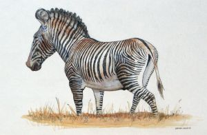 Grevy's Zebra by larkinheather