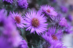 Asters by QueenOfSpoons
