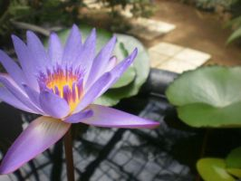 Water Lilly in a Barrel x3 by iFerneh