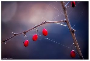Red Berries and Blue by butterfly36rs