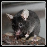 Willy the Mouse by declaudi