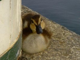 Stock 097: duckling stare by AlzirrSwanheartStock