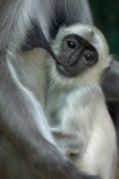2417 - Gray Langur by Jay-Co