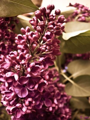 Memories of a Lilac...