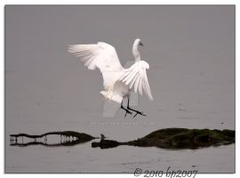 Great Egret - 3 by bp2007
