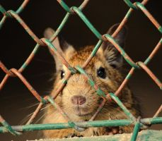 I'm a Degu- Get me out of here by RiaPi