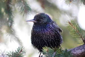 Starling by 4burakfe