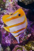 CopperBanded  Butterfly Fish by FluffyFawn