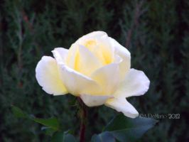 Yellow Evening Rose by dreamingshadow18