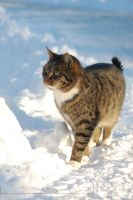 Cat in Snow by Wild-Soul