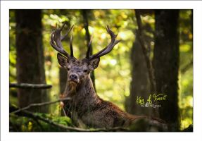 King of Forest by sG-Photographie