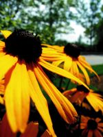 Yellow Beauties by carbyville