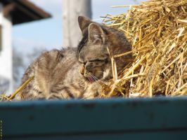 cat on a farm by kirschi94