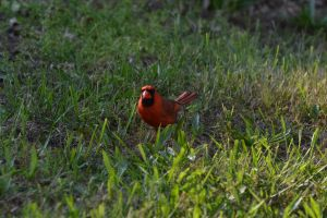Male Cardinal 2 by Noble-Kenshi