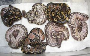Ezra x Phantoon 2013 Clutch pre-shed by the-shiznite