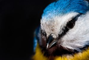 Blue Tit by Orzel