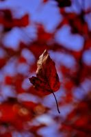 autumn leaf by MirdautasVrasS