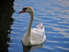swan 06 by Pagan-Stock