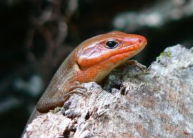 Broad-headed Skink by Whyamithewerewolf