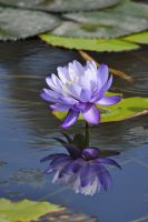 lilac water lily by NinaHoerz