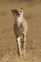 Stalking Cheetah by MorkelErasmus