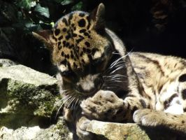 2014 - Clouded leopard 37 by Lena-Panthera