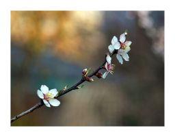 Blooming apricot by Bodghia