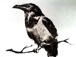 Pied Crow - India Ink Drawing by artmkc