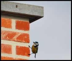 Tomtit by FrankAndCarySTOCK