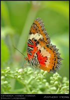 Malay Lacewing 02 030808 by inckurei