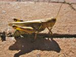 Grasshopper by Allison-beriyani