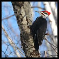 Pileated Woodpecker by Ptimac