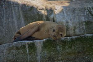 Sea Lion resting on a rock by WesHPhotography