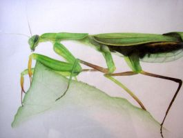 Praying Mantis by fanchielover15