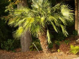 stock palmetto palm maybe? by Irie-Stock