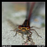 Dragonfly Smile by carterr