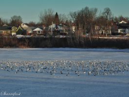 Gulls on Ice by Brian-B-Photography