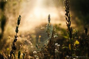Backlit wet spider web in the morning by luxuss