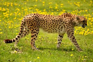 African Cheetah Profile by 8TwilightAngel8