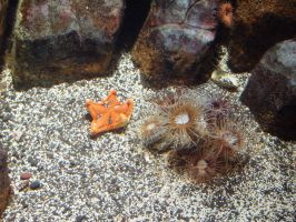Pale Starfish by Alcyone07